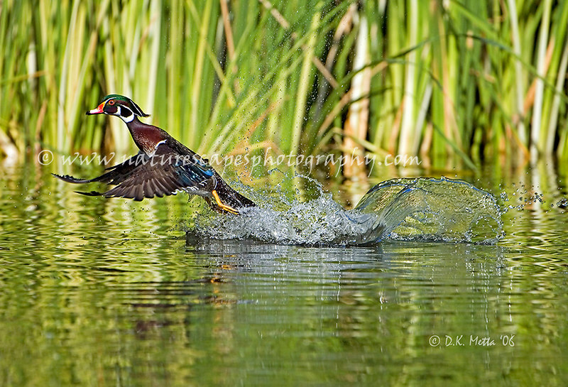Cleared for Take-off! Wood Duck taking flight - available up to 13x19
