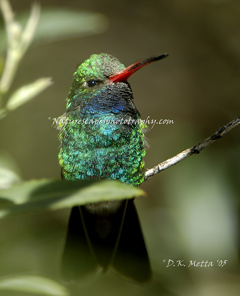 Broad Billed Hummingbird - Sonoran Desert, AZ