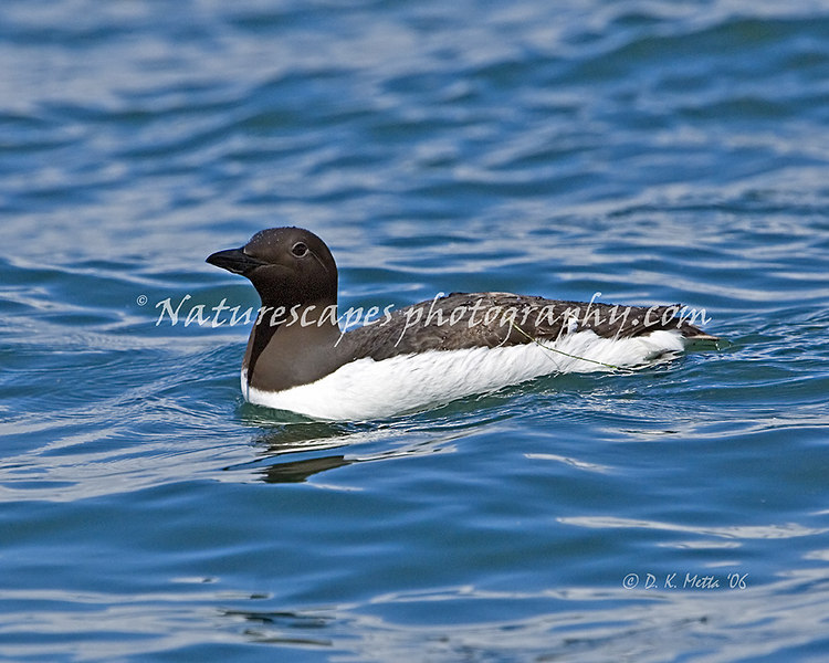 Common Murre, Katchemak Bay Alaska