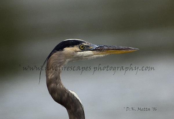 Great Blue Heron Head shot/Profile