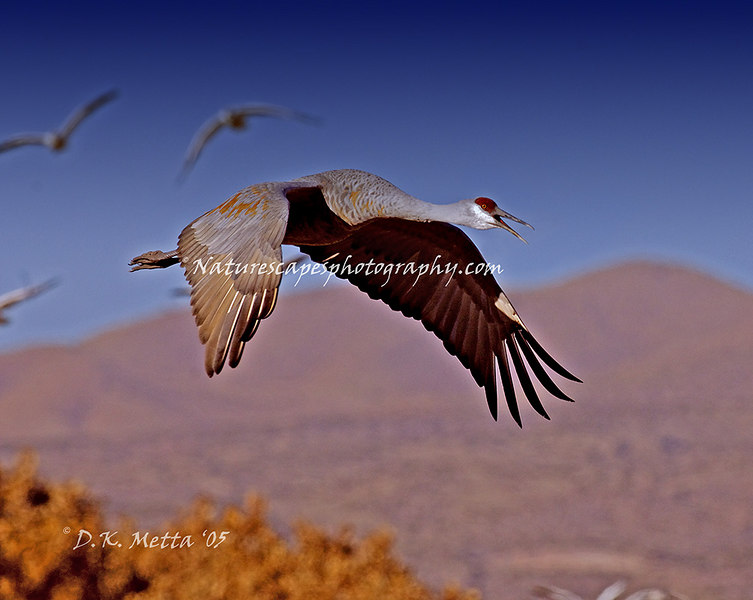 Migrating Sand Hill Crane