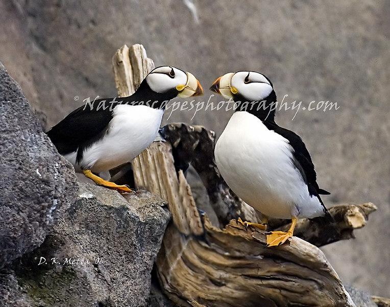 Horned Puffins- Alaska