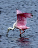 Roseate Spoonbill sifting for food