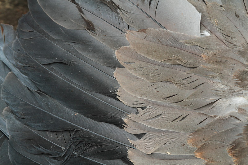 Great Blue Heron feathers- NOI