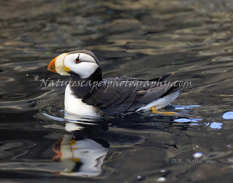 Horned Puffin - Alaska