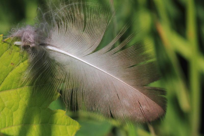 Feather- Sherburne NWR