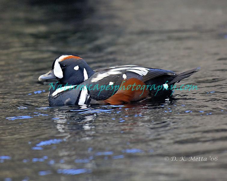Harlequin Duck (Drake) - Katchemak Bay, Alaska