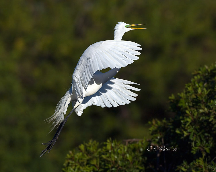 Snowy Egret during Breeding  - available to 16x20