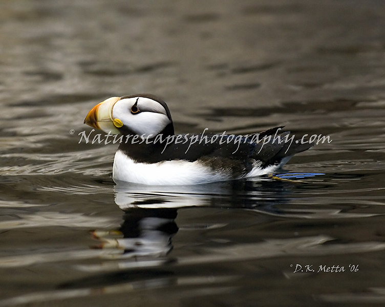 Horned Puffin, Katchemak Bay Alaska