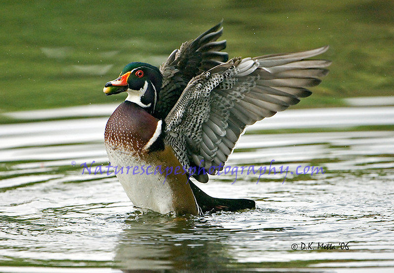 American Wood Duck Feeding and displaying