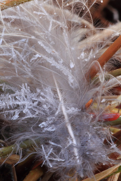 Hoarfrost on Feather- Paint Mine Creek