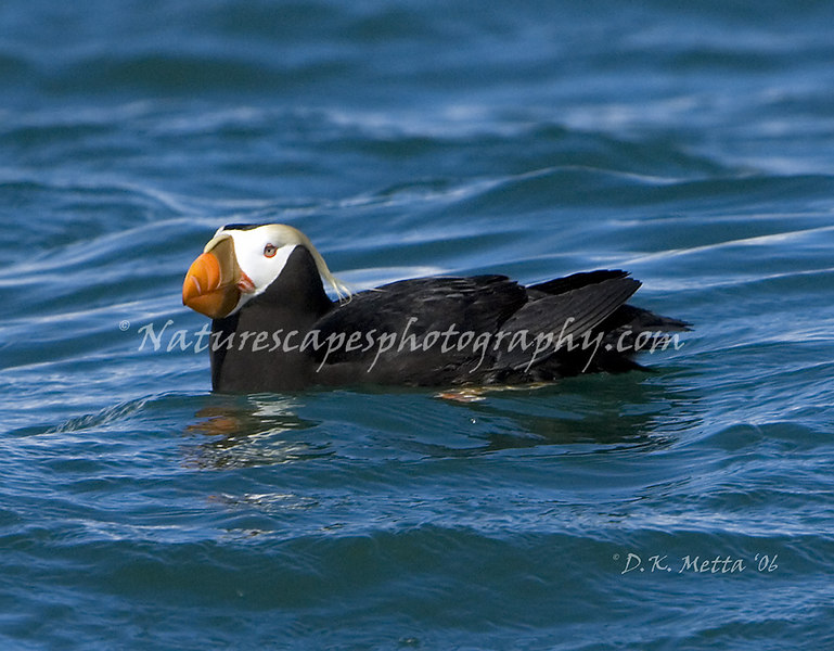 Tufted Puffin - Katchemak Bay Alaska