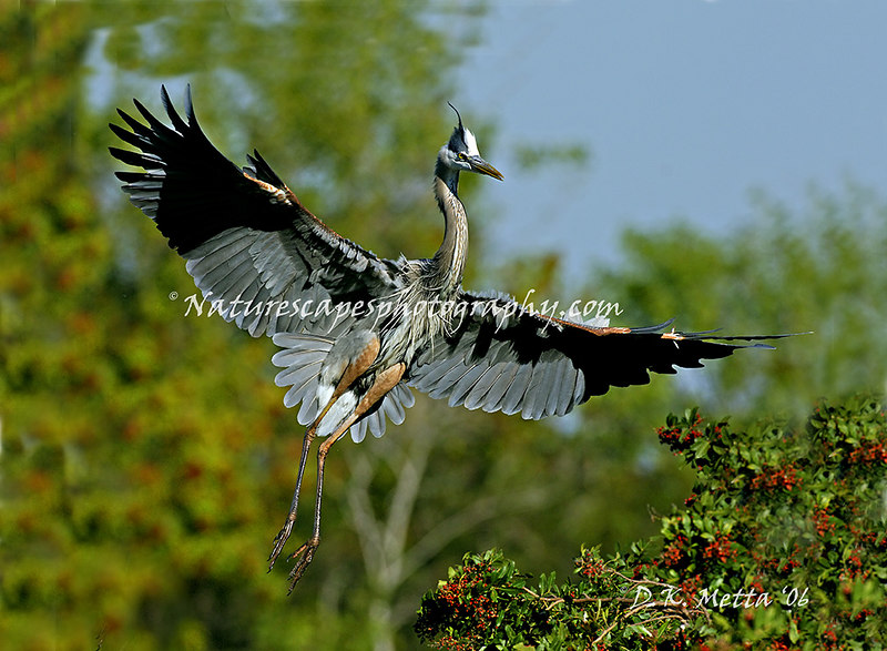 Great Blue Heron Mating Display & Colors