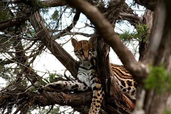 A Texas ocelot (Leopardus pardalis albescens) resting in a tree (2009_05_22_020646)