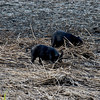Feral Hogs near the cabins and in the marsh in the Crooked River State Park near St. Mary's, Georgia rooting for food