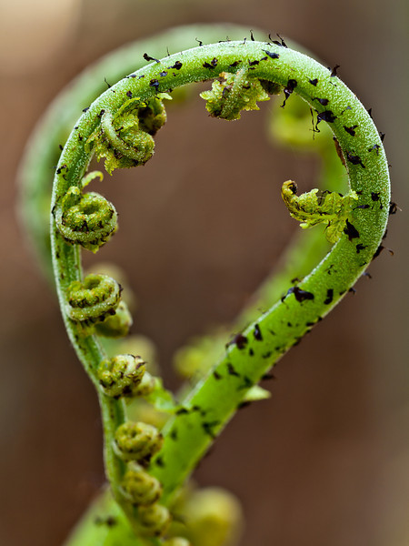 Mirror, Mirror<br /> Two unfurling fiddleheads in the Musquash Conservation area.  OM 90mm macro.