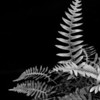 This is rock cap fern and while normally I process fern photos in all their greeny glory, this one needed monochrome.  I dig it.