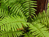 Cinnamon fern on a sphagnum moss tuffet beside a cedar...don't you love swamps?
