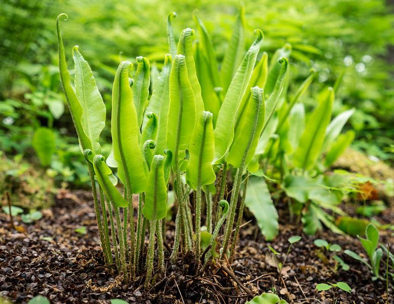 American Hart's-tongue fern