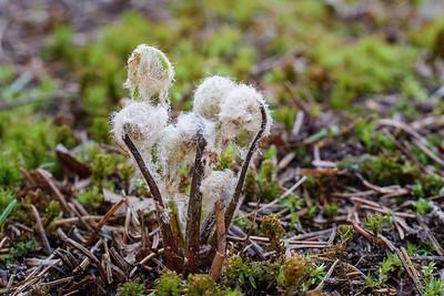 Cinnamon fern fiddleheads