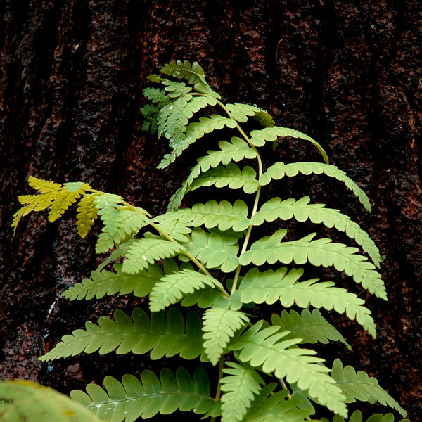 These ferns seemed to be fighting or having a night at the Copa.  Played with it some in LR to get the feel I was after.