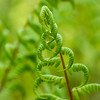 Narrow Lady Fern
