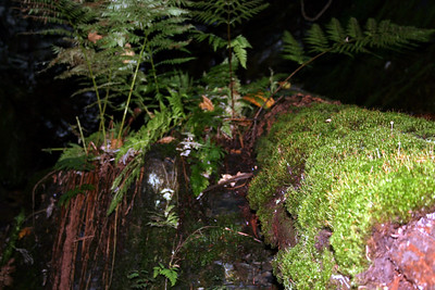 The pretty ferns & moss by the falls.