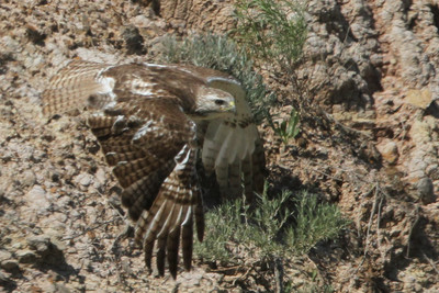 Ferruginous Hawk Badlands in South Dakota June 22, 2015