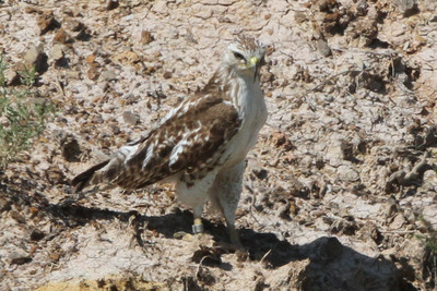 Ferruginous Hawk Badlands in South Dakota June 22, 2015 This bird has a band on its right leg