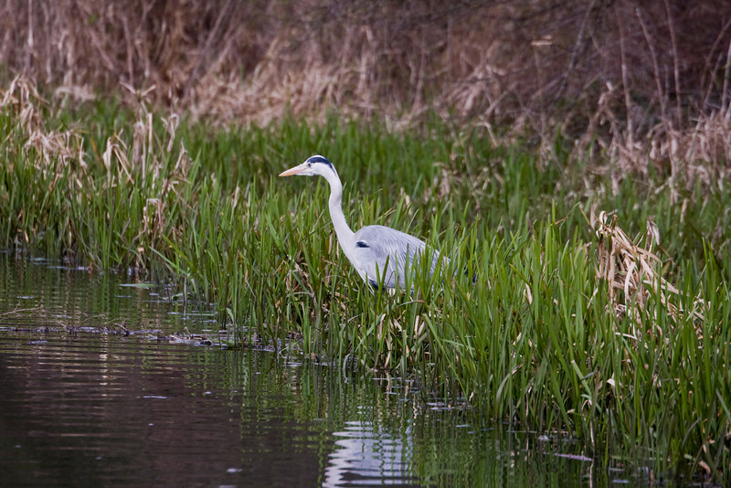 grey heron waiting for its dinner