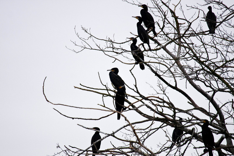 cormorants - really surprised to see them here