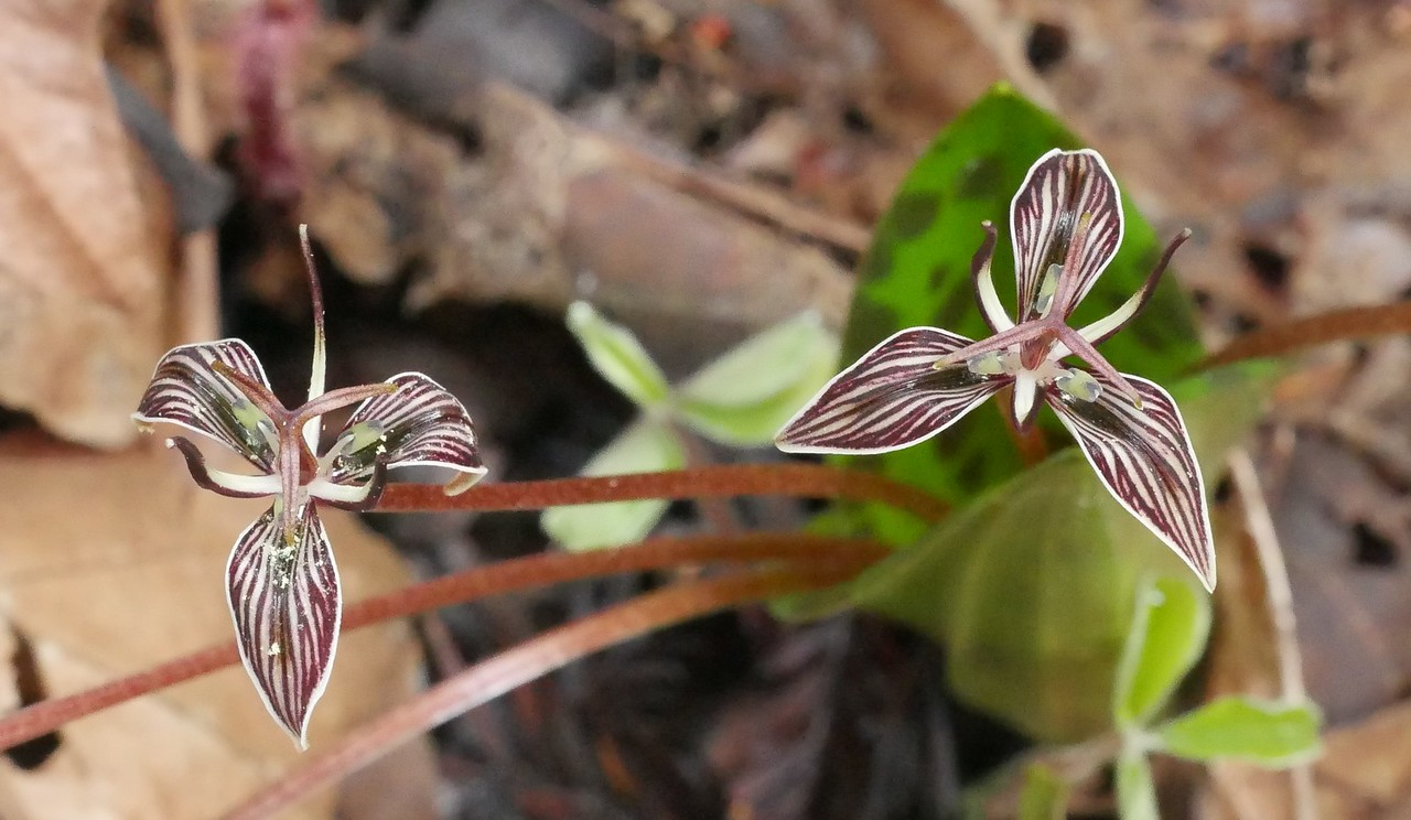 And now the main event.  These California fetid adderstongue (Scoliopus bigelovii) flowers are less than an inch across but the rich color and exotic shapes are spectacular.