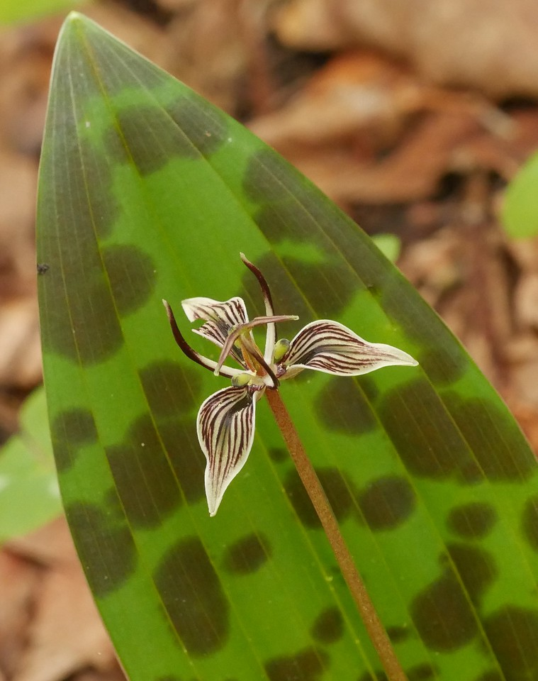 This picture will remind us what the flowers look like and how to spot them via the moittled leaves.