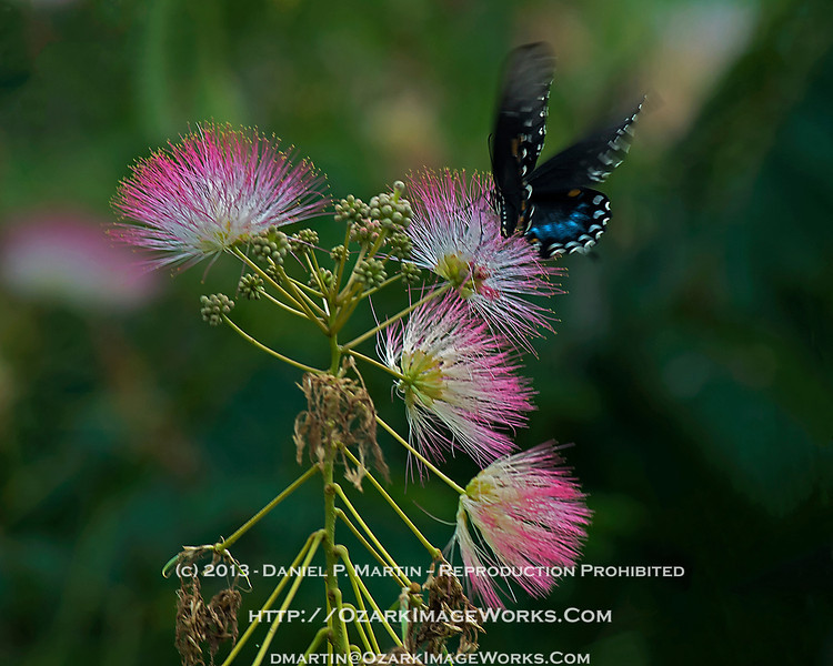 They only look like they move slow...<br /> <br /> Pipevine Swallowtail (Battus philenor) caught in the midst of landing on a Mimosa blossom.<br /> <br /> DSC_0232