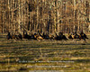 Wild Turkeys - Late Winter, 2013<br /> <br /> Out in the woods or on days with heavy overcast, they're just large dark-colored birds.  Spotlight them with end-of-day sunset lighting, and the range of color in the iridescent feathers is amazing!<br /> <br /> DSC_0128