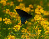 Pipevine Swallowtail - August, 2013