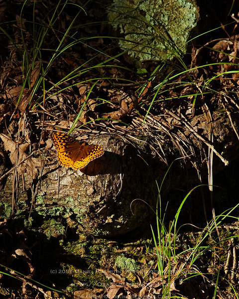 Great Spangled Fritillary - August, 2013