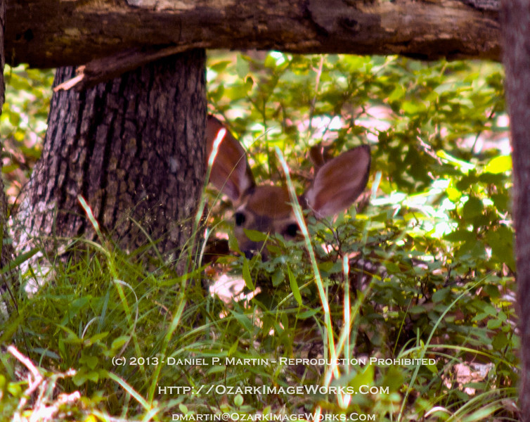 Whitetail Fawn - Early June, no more than a few weeks old, this youngster was in a great hiding place until I blundered in and disrupted his nap.