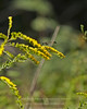 Goldenrod & Thread Waisted Wasp