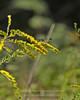 Goldenrod & Thread Waisted Wasp