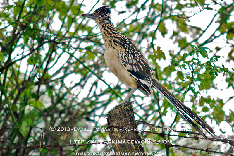 "Off-roading?<br /> <br /> The Greater Roadrunner, an Arkansas native, isn't *always* found on the road.  This one grew tired of being stalked along open ground and took off for higher elevations -- in this case, a well-aged fence post surrounded by underbrush.<br /> <br /> More info available here, courtesy of Audobon Arkansas:  <a href=""http://www.birdsofarkansas.org/bird_detail.asp?birdID=29"">http://www.birdsofarkansas.org/bird_detail.asp?birdID=29</a><br /> <br /> DSC_0199"