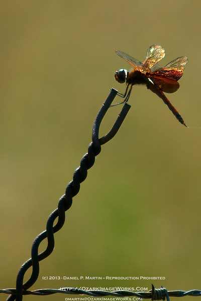 Amberwing Dragonfly