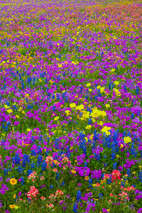 South Texas Wildflower Field