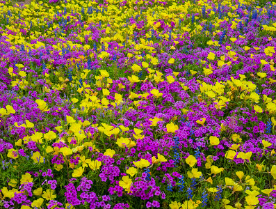 Phlox, Bluebonnets, and Yellow Primrose