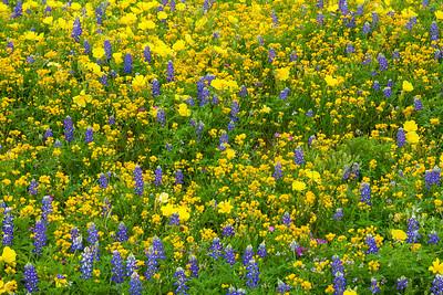 Bluebonnets, Yellow Primrose, and Goldenrod