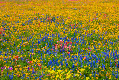 Field of Mixed Wildflowers