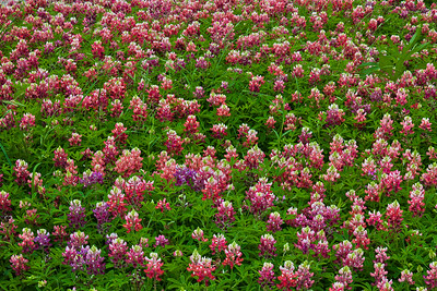 Red and Aggie Maroon Bluebonnets