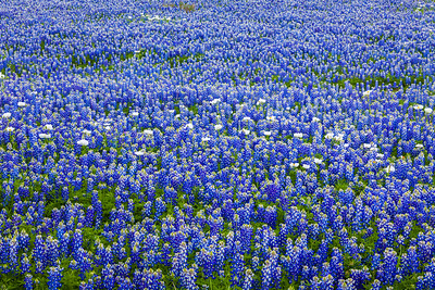 Bluebonnet Field with Poppies