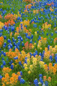 Texas Wildflower Field