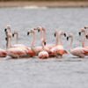 Phoenicopterus chilensis<br /> Flamingo-chileno<br /> Chilean Flamingo<br /> Flamenco - Guarimbo pytâ